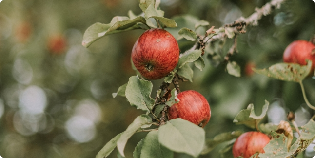 りんごオーナー制度